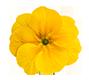 Цветок первоцвет