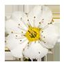 Цветок таволги