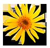 Цветок аринка